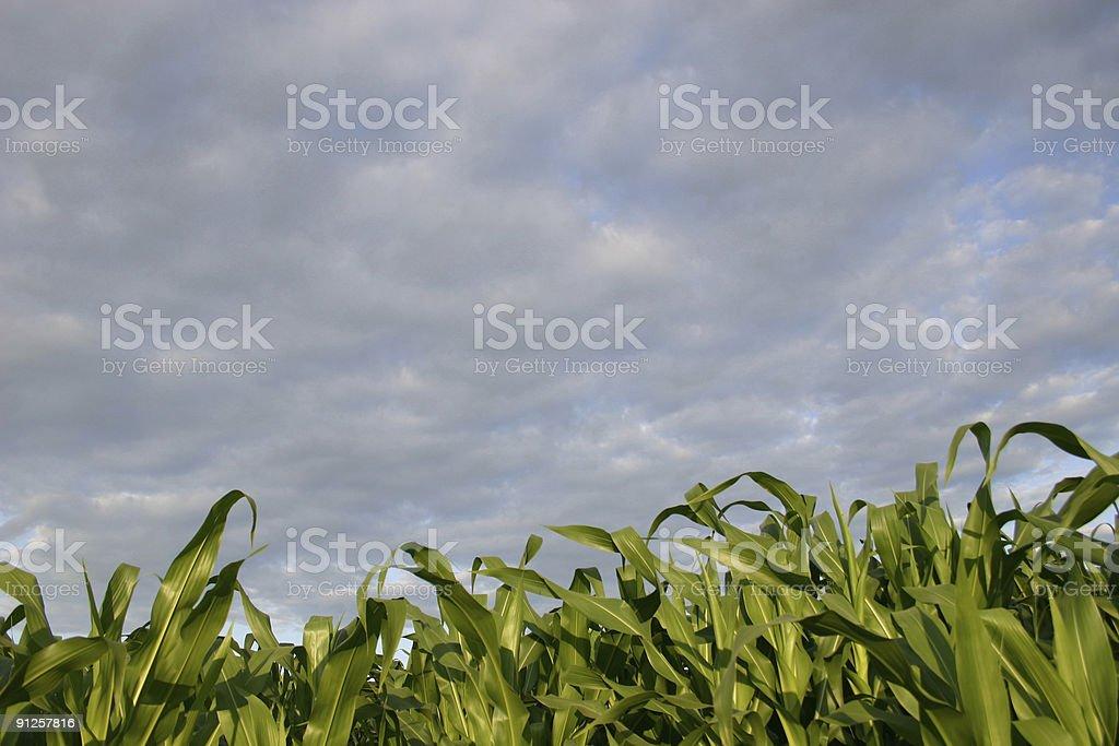 Cornfield, Dubuque County Iowa royalty-free stock photo