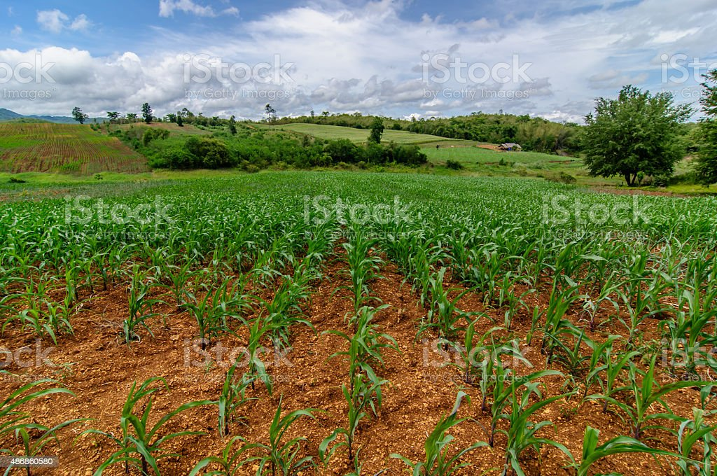 cornfield farm on country with blue sky background stock photo