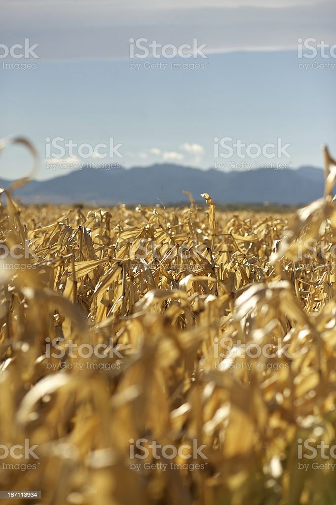 Cornfield in Colorado royalty-free stock photo