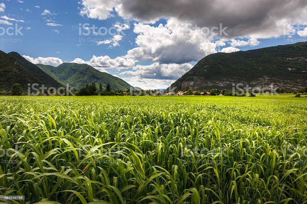 Cornfield in Summer near Montmaur, Hautes Alpes, Southern Alps, France stock photo