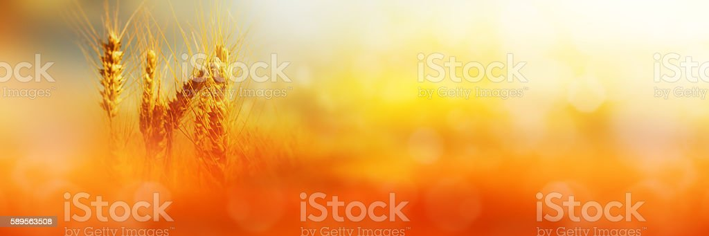 Cornfield in sunlight stock photo