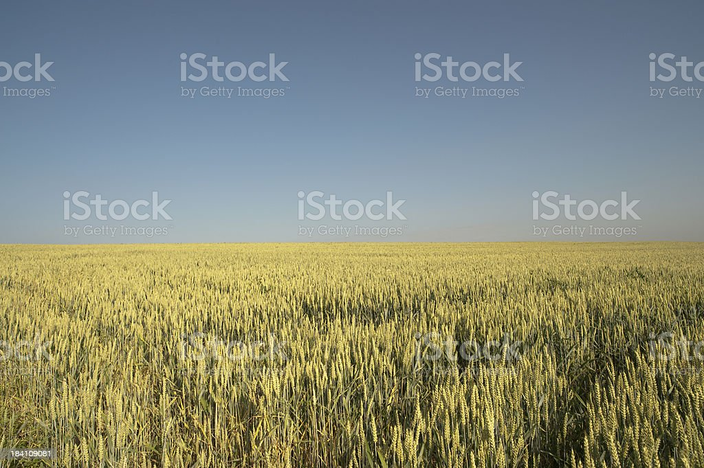 Cornfield in the morning stock photo