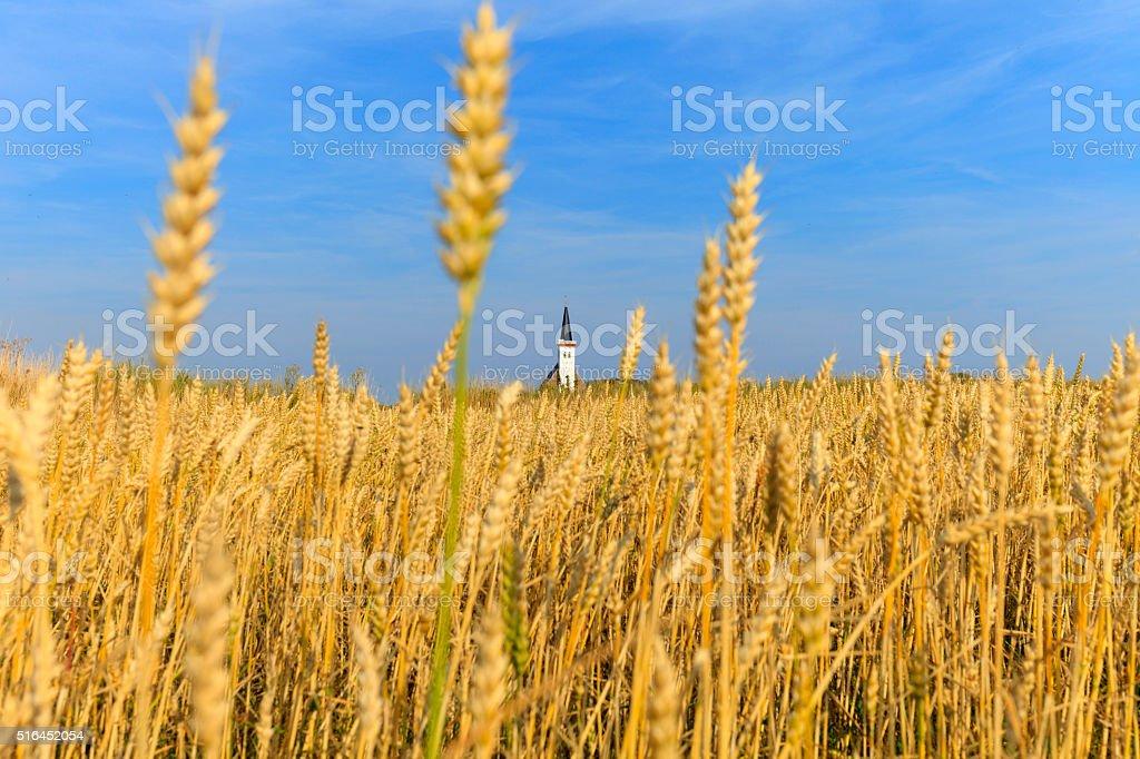 cornfield near Den Hoorn on the Dutch island Texel stock photo