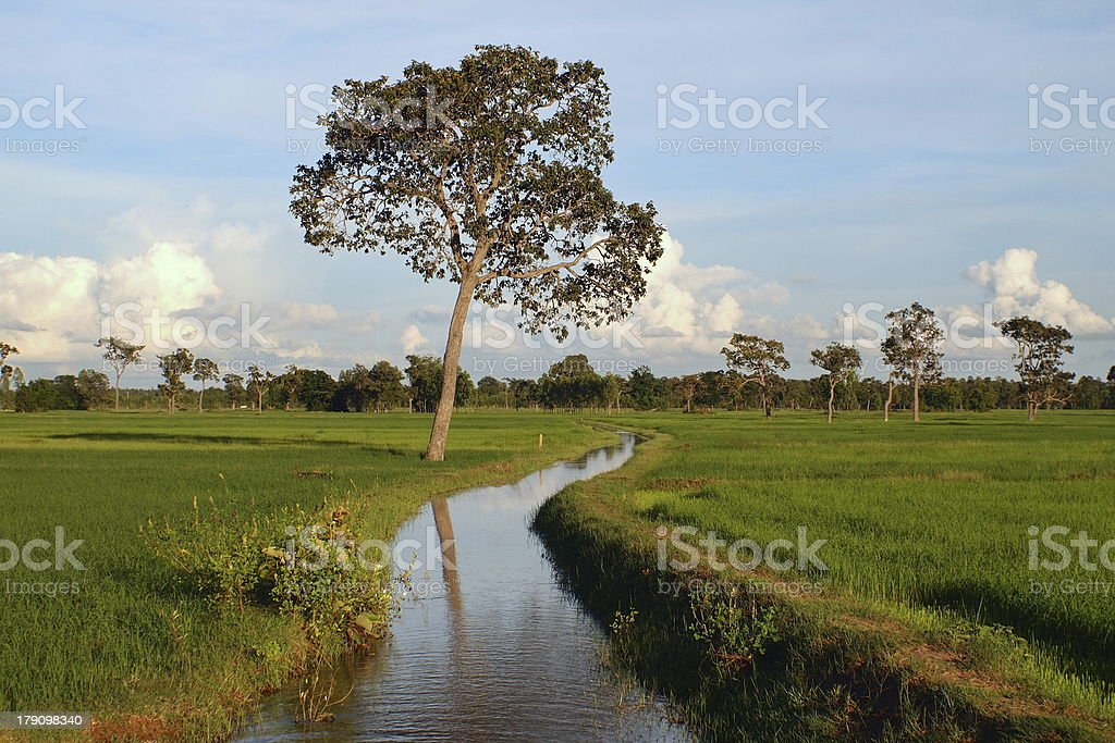 Cornfield, Thailand royalty-free stock photo