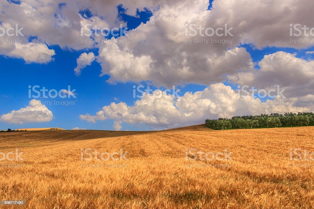 RURAL LANDSCAPE SUMMER. Cornfield topped by clouds.Apulia (ITALY) stock photo