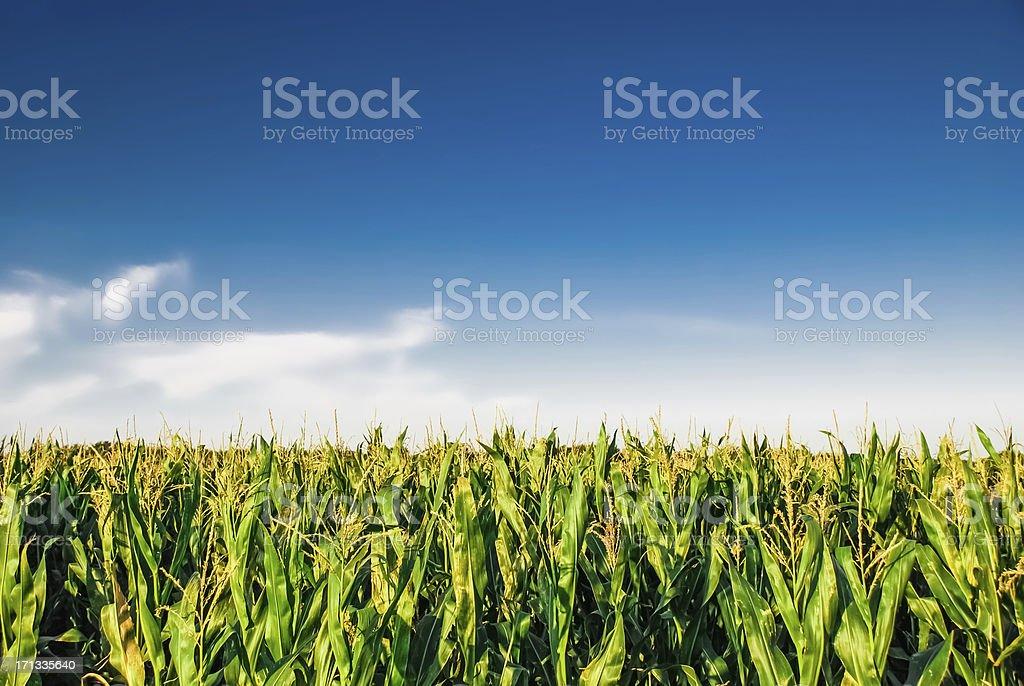 Cornfield with blue sky royalty-free stock photo