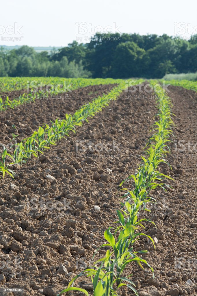 Cornfield with Forrest stock photo
