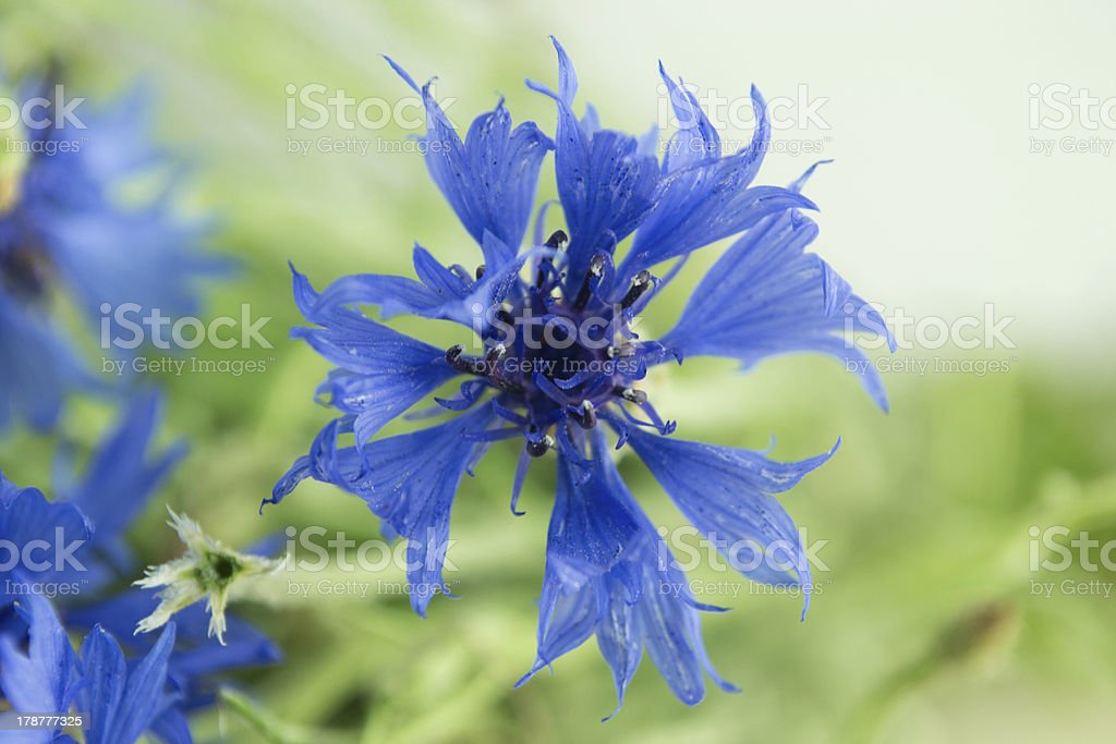 cornflower blossoms royalty-free stock photo