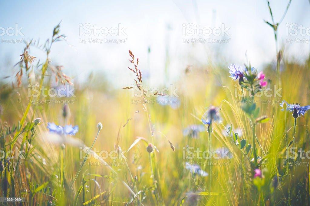Cornflower [Centaurea cyanus] in summer on grainfield stock photo