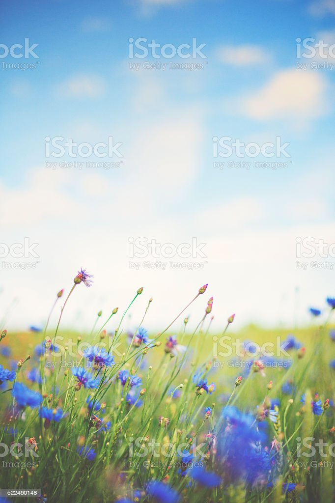 Cornflower [Centaurea cyanus] in summer on the meadow stock photo