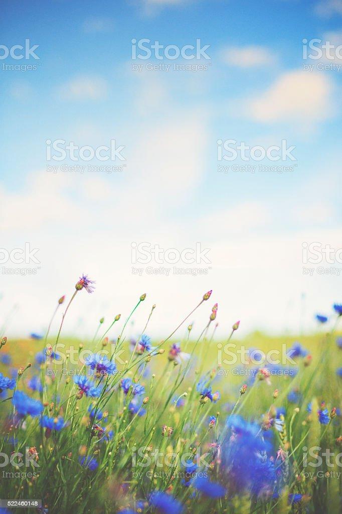 Cornflower [Centaurea cyanus] in summer on the meadow stock photo