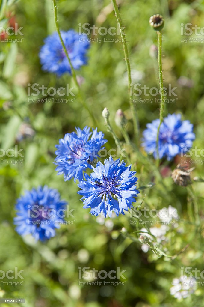 cornflower [ Centaurea cyanus ] stock photo