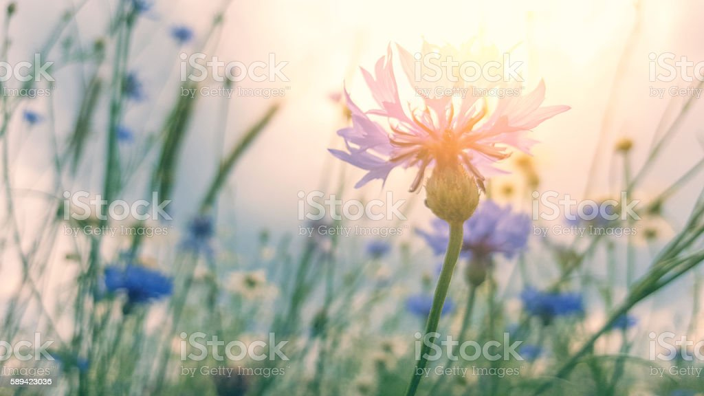 cornflower in field in sunset at summer stock photo