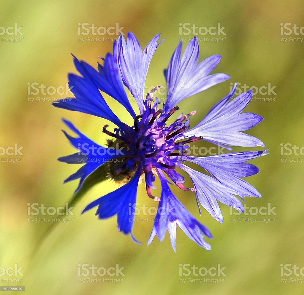 Cornflower in the light of the setting sun stock photo
