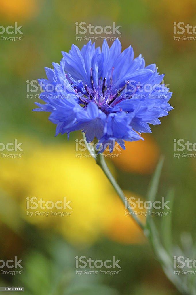 cornflower royalty-free stock photo