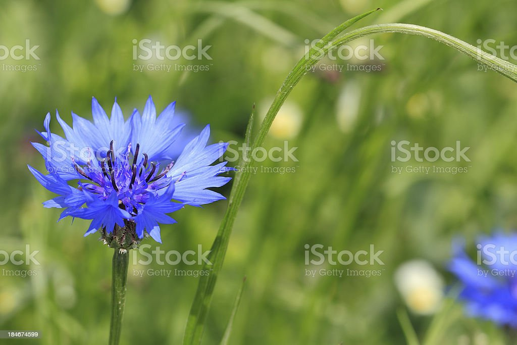 Cornflower royalty-free stock photo