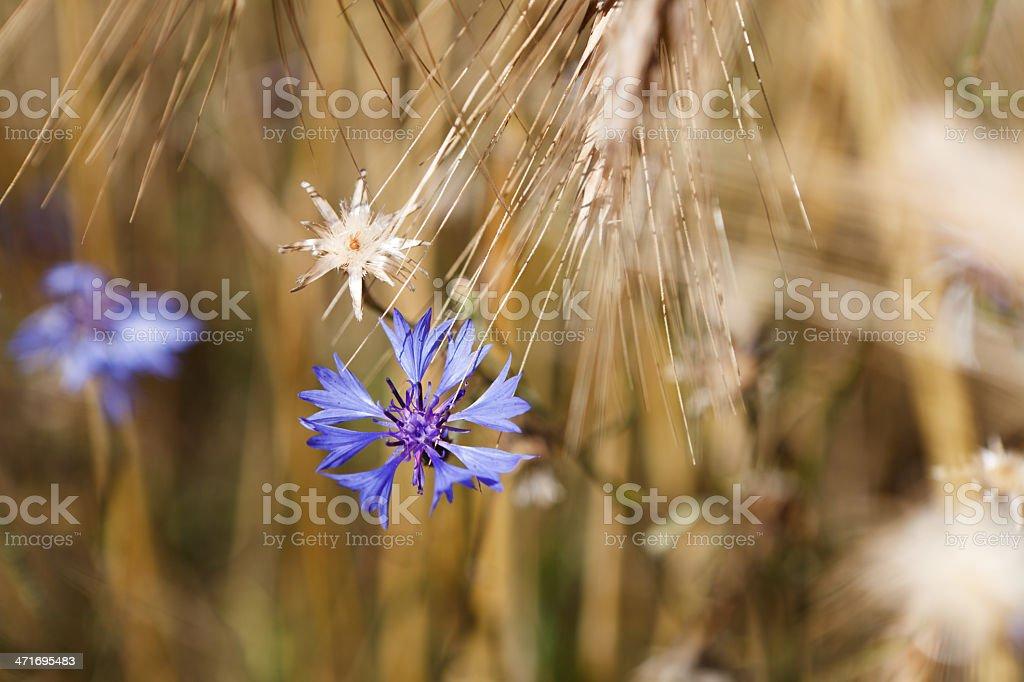 Cornflower stock photo