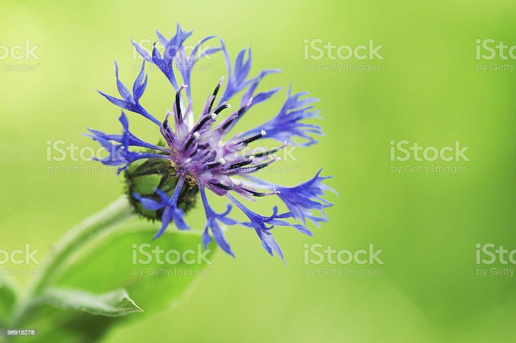 Cornflower (Centaurea cyanus) royalty-free stock photo