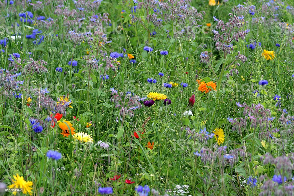 Cornflower, poppy, borage, marigold and other wildflowers in  summer meadow royalty-free stock photo