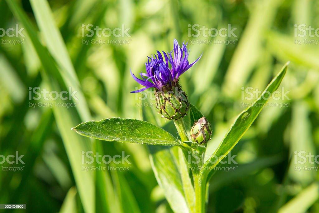 Cornflower purple flower stock photo
