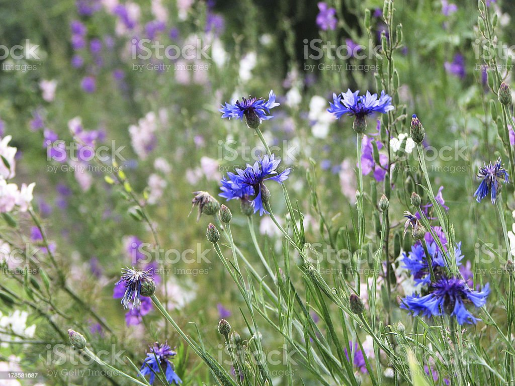 Cornflowers and wildflowers are blooming royalty-free stock photo