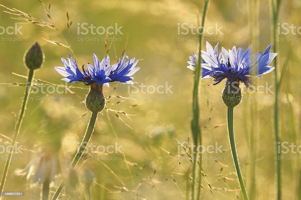 Cornflowers (Centaurea pullata), as background stock photo