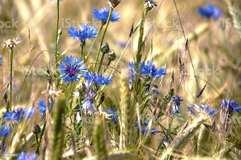 Cornflowers in field stock photo