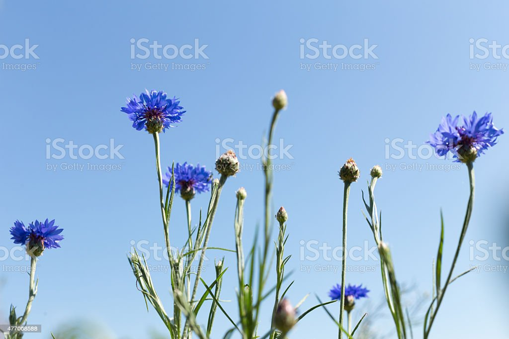 Cornflowers in the field stock photo