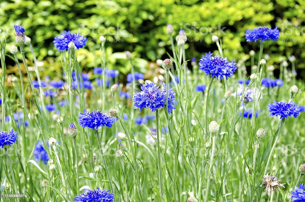 cornflowers royalty-free stock photo