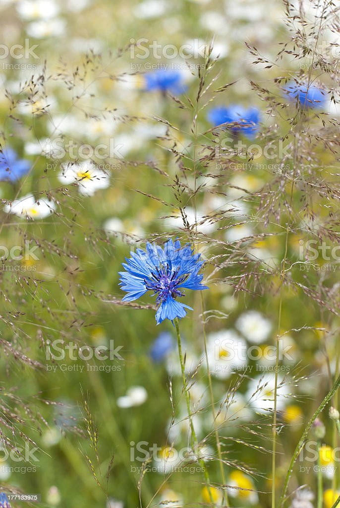 Cornflowers royalty-free stock photo