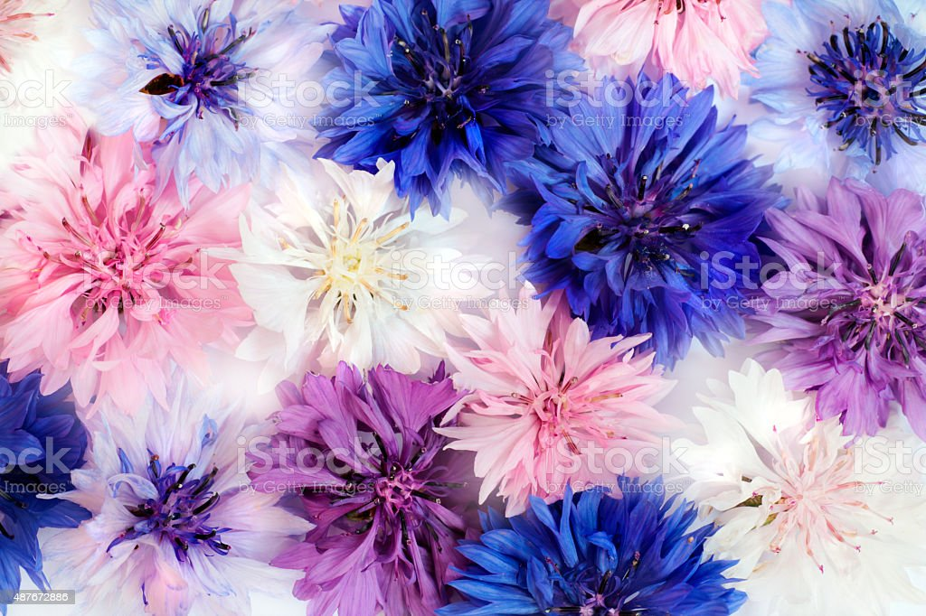 Cornflowers. stock photo