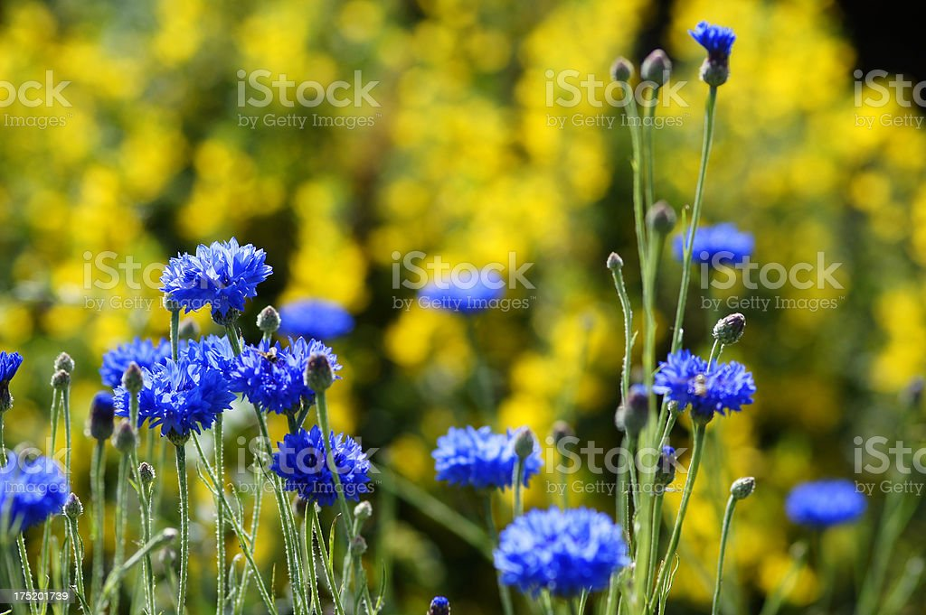 Cornflowers with yellow background royalty-free stock photo