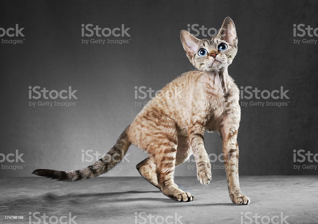 Cornish Rex cat in motion royalty-free stock photo
