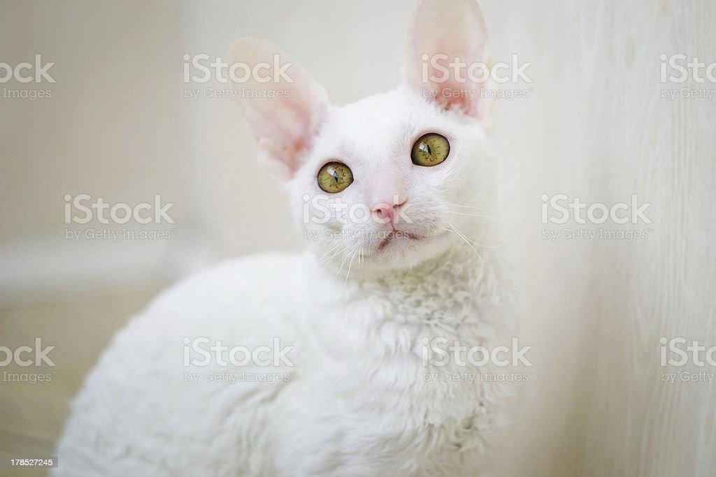 Cornish Rex cat looking at photographer stock photo