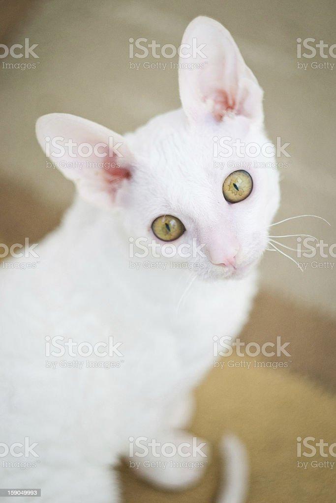Cornish Rex kitten looking at camera royalty-free stock photo