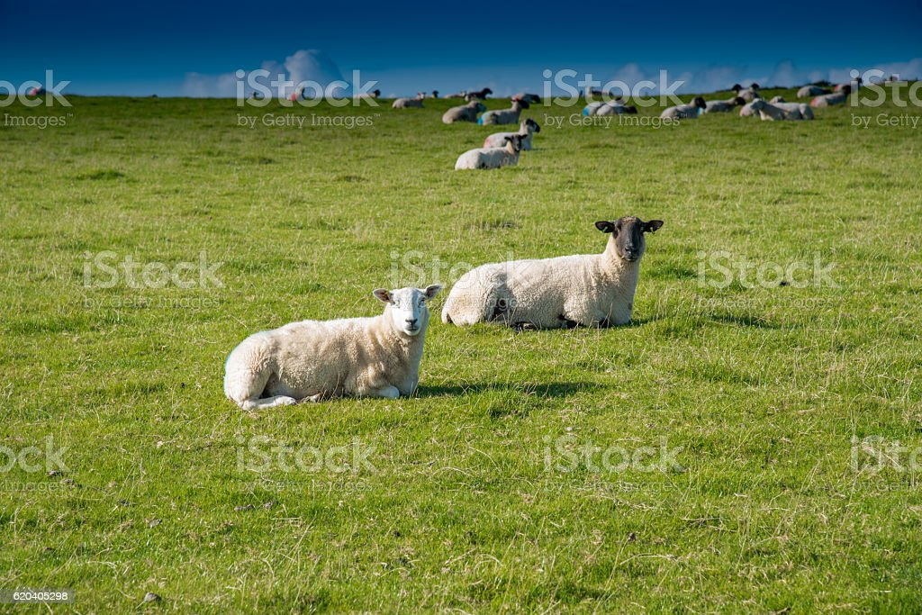 Cornish sheep stock photo