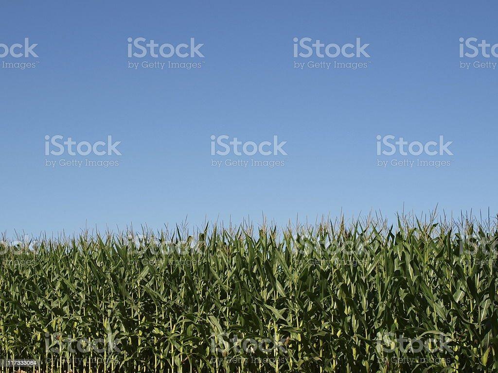 Cornstalks under clear blue sky stock photo