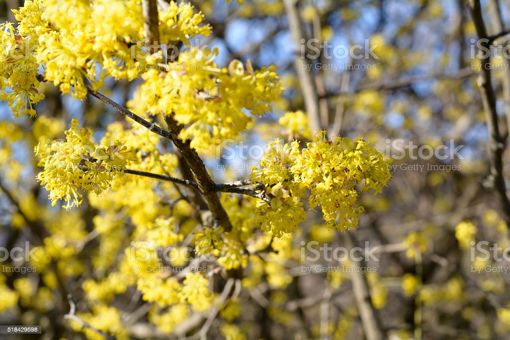 Cornus mas, Cornelian cherry, European cornel, dogwood, flowering plant in stock photo