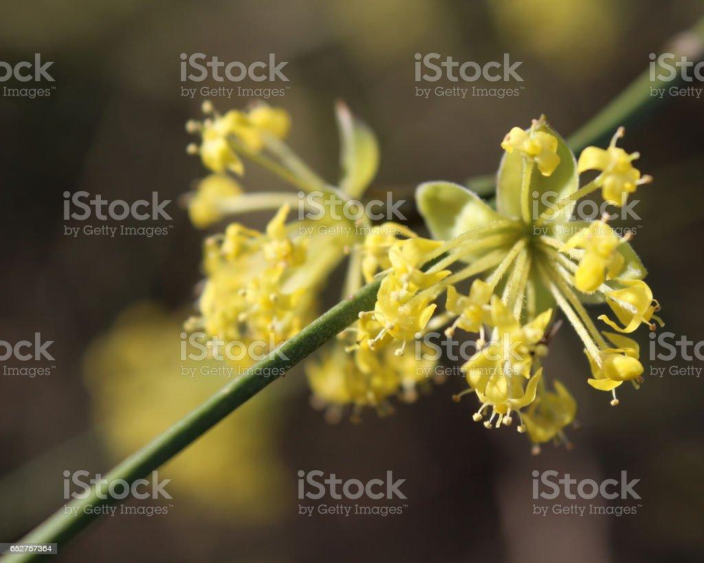 Cornus mas in bloom stock photo