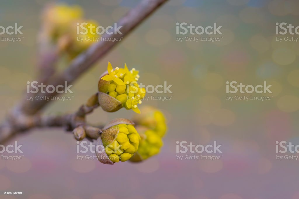 Cornus mas stock photo