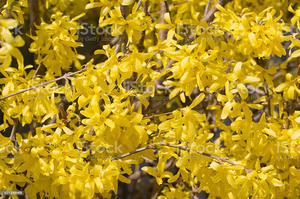 Cornus mas yellow flowers blossom stock photo