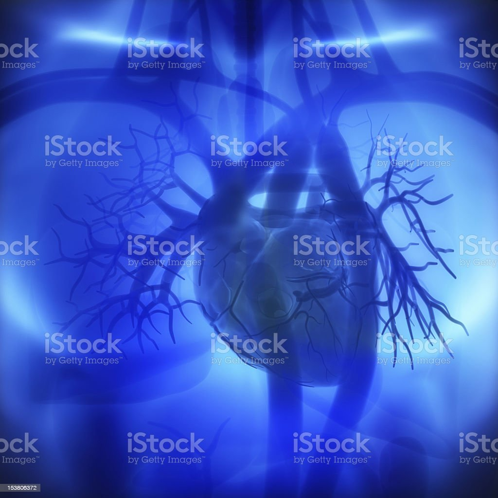 Coronary arteries, auricles, ventricles in human heart stock photo