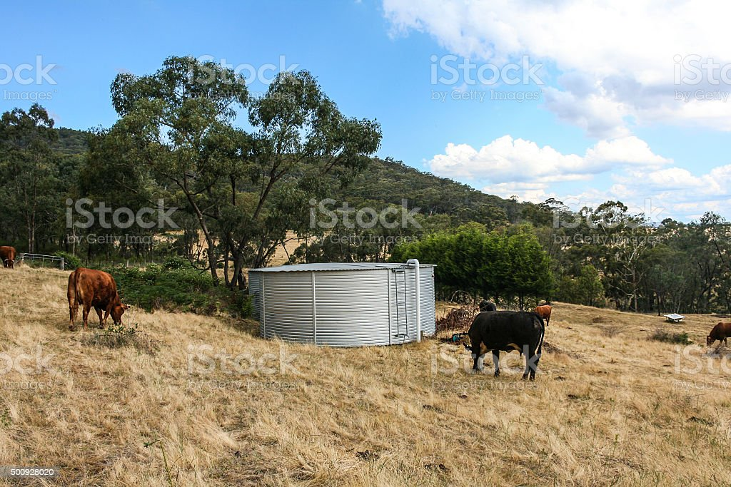 Corrugated iron water tank with cows in paddock. stock photo