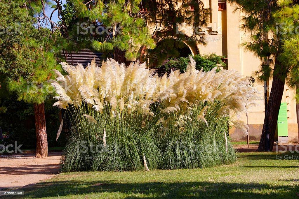 Cortaderia selloana in the Ciutadella Park in Barcelona stock photo