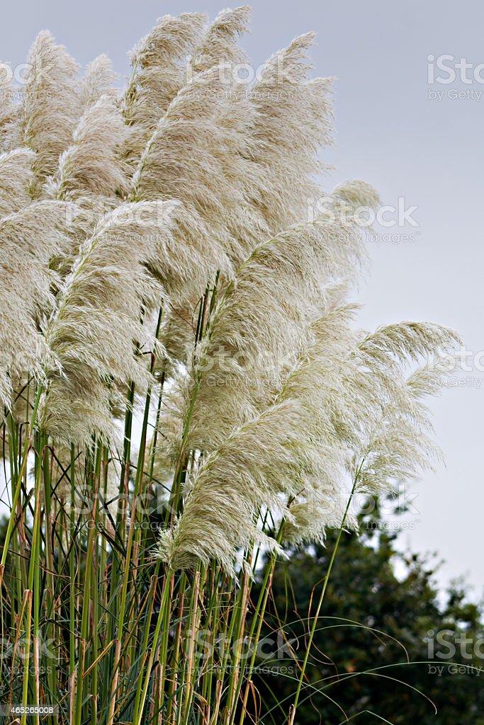 Cortaderia selloana stock photo