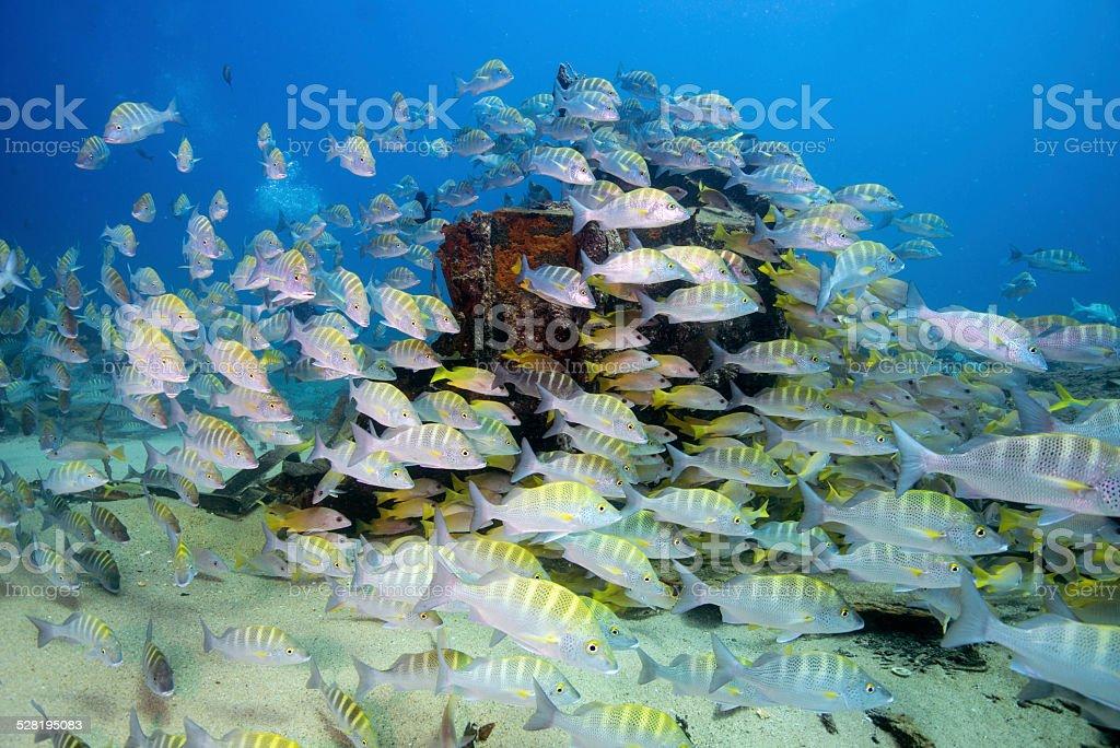 Cortez swarm stock photo