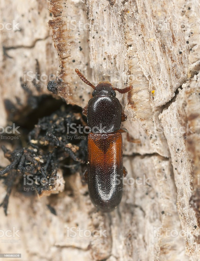 Corticeus fasciatus on wood, extreme close-up with high magnification royalty-free stock photo
