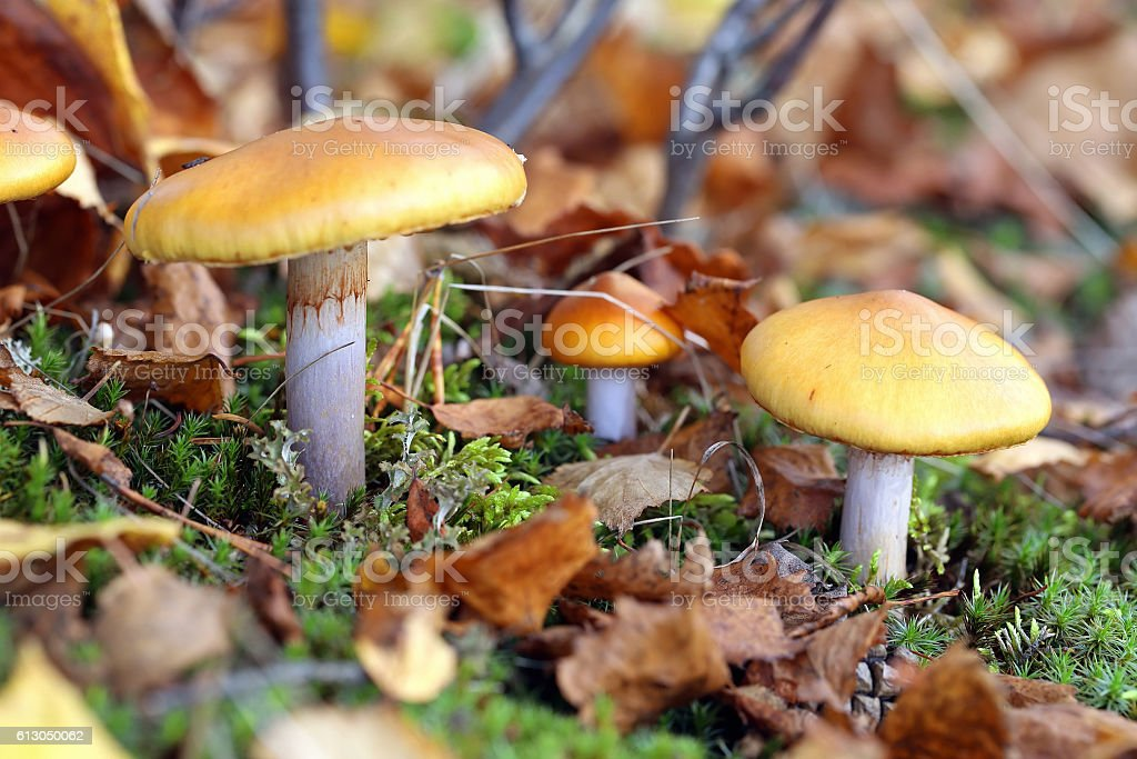 Cortinarius mucosus. Mushrooms among the fallen-down foliage stock photo