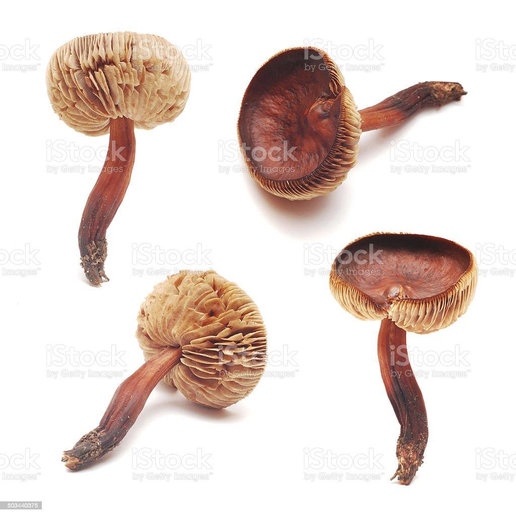 cortinarius mushroom stock photo