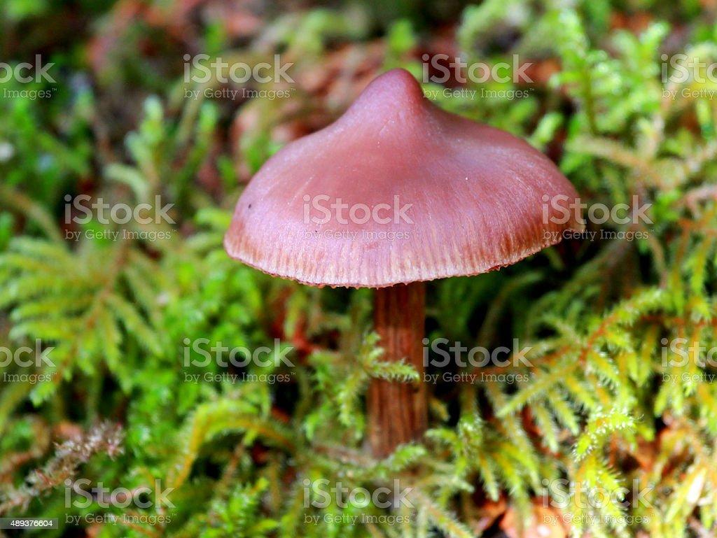 Cortinarius sp. Mushroom in Moss stock photo